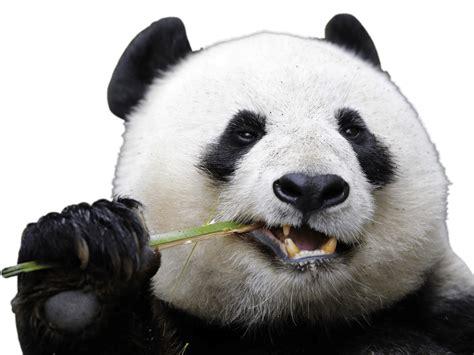 Panda With by Panda Transparent Png Stickpng