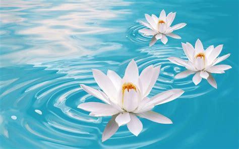 lotus flower in lotus flowers wallpapers hd pictures one hd wallpaper