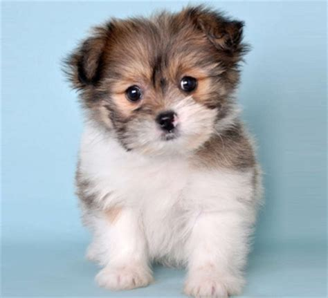 pomeranian shih tzu puppies for sale pomeranian and shih tzu designer mixed breed breeds picture