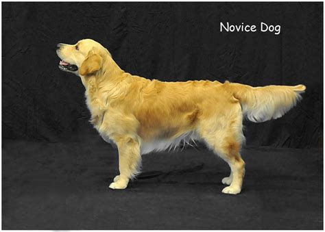 southern golden retriever southern golden retriever society sgrs