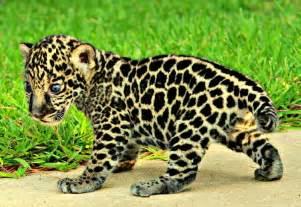 Jaguar Cub Update Jaguar Cub Gets His Quot Swagger Quot Zooborns
