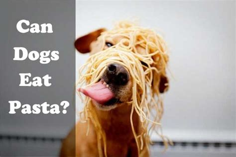 can you eat dogs when can dogs eat pasta spaghetti noodles is it or bad for them alldogsworld