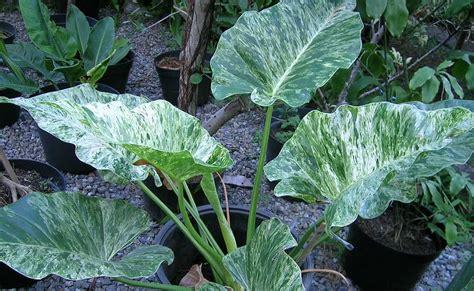 teks prosedur membuat tanaman hias 9 tanaman hias terpopuler yang bisa membuat kaya