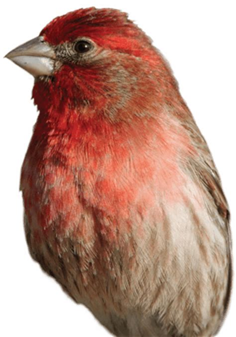 house finch food preferences house finch wild delightwild delight