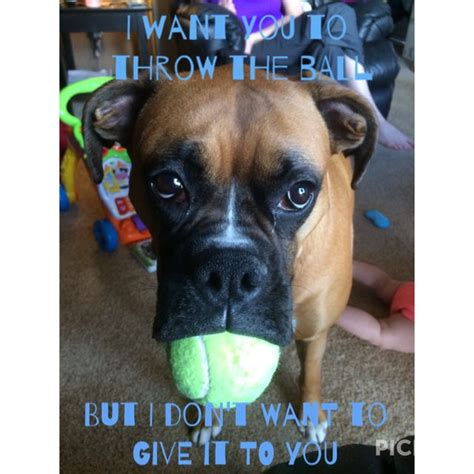 Funny Boxer Dog Memes - boxer dog life meme humans friends pinterest