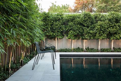 ficus hedge pool contemporary with secluded coffee table
