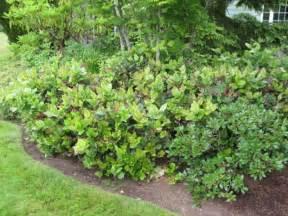 Shrub With Small White Flowers - salal gaultheria shallon