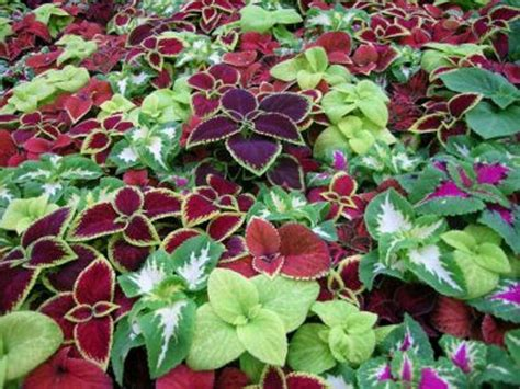 coleus seeds wizard series jade grow well in by caribbeangarden