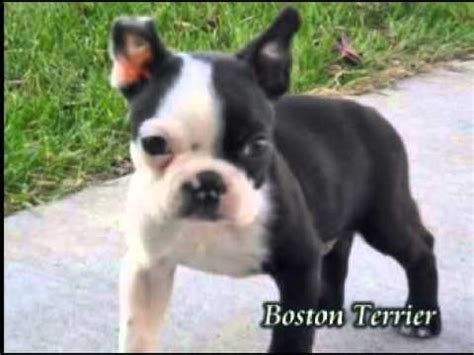 boston terrier puppies for sale in pa ch boston terrier puppy 4 weeks funnydog tv