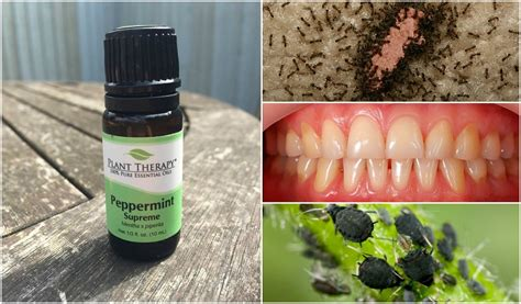 A Powerful Peppermint by 43 Peppermint Uses For Health Home