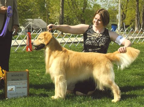st louis golden retriever shor line golden retrievers gch ch shor line bat n the hatches tdx