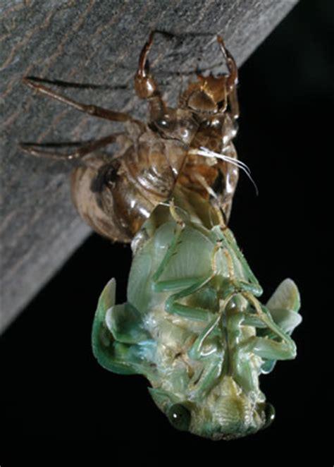 a tibicen shedding its skin cicada mania