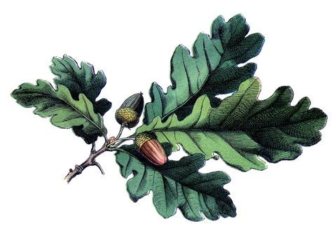 antique botanical image oak leaves with acorns the