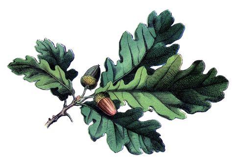 Antique Botanical Image   Oak Leaves with Acorns   The