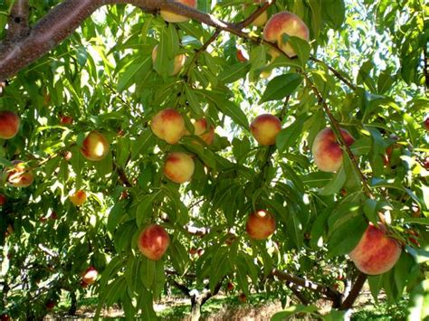 why are many fruit plants trees even when i i m thinking home staging