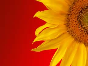 Punny Color Name sunflower wallpaper 16054 1600x1200 px hdwallsource com