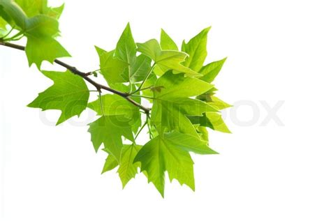 Etnic Brown Leaf green maple leaves with branch isolated on white