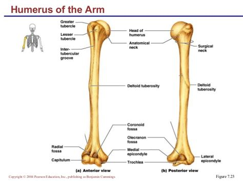 in the pattern of attachment quizlet image gallery humerus skeleton