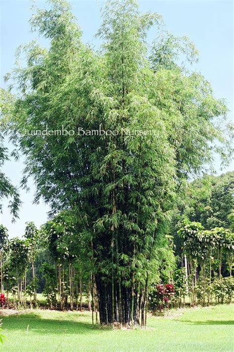 Hitam Mamboo bambusa lako quindembo bamboo