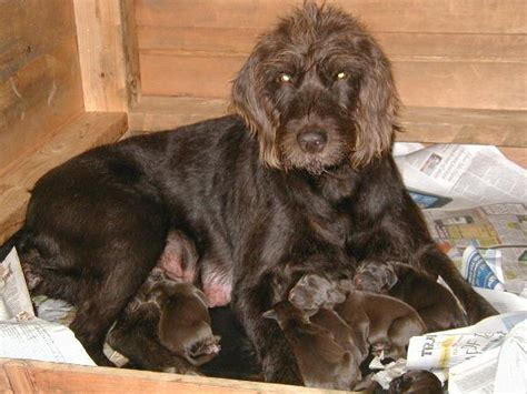 pudelpointer puppies what is a pudelpointer breeds picture