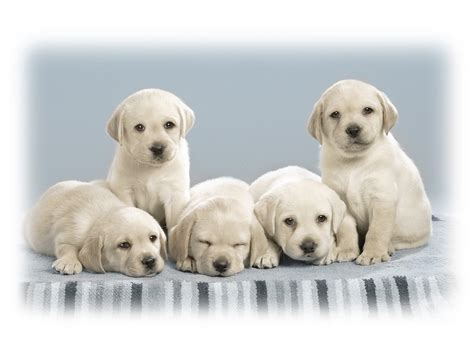 cute pictures of puppies 1 wallpaper gallery cute pupies wallpaper 2