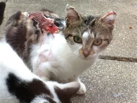 how to a not to attack cats cats sprayed with acid in series of attacks in suburb the independent