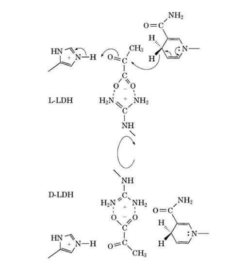L Mechanism by Lactate Dehydrogenase Ldh Molecular Biology