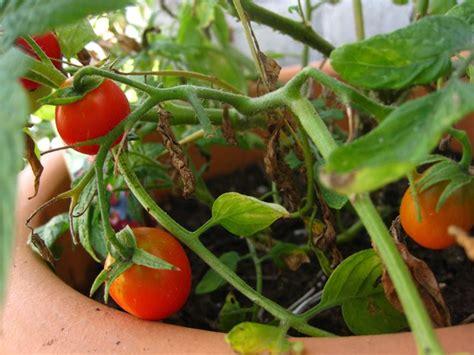 seminare pomodori in vaso pomodori sul balcone orto in balcone coltivare