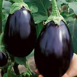 Garden Eggplant Warm Garden Eggplant Schmidt Bros Inc
