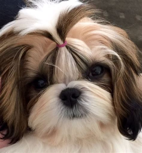 oldest living shih tzu best 25 shih tzu ideas on shih tzu puppy