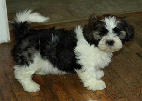 shih tzu puppies for sale ontario tricolour shih tzu puppies for sale puppies for sale dogs for sale in ontario
