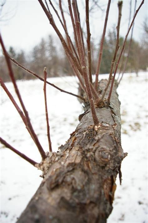trimming fruit trees in winter 43 best images about pruning fruit trees on