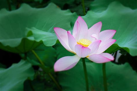 lotus flower images free downloads lotus plant images free flower images pictures