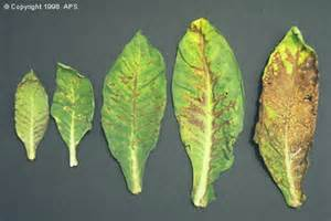 Tobacco Plant Diseases Pictures - tomato spotted wilt tospovirus on tobacco