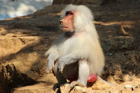 hamadryas baboon facts range behavior diet pictures