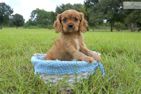 cavapoo puppies florida belmondo cavapoo puppy for sale near sarasota bradenton florida ecf2ec98 c171