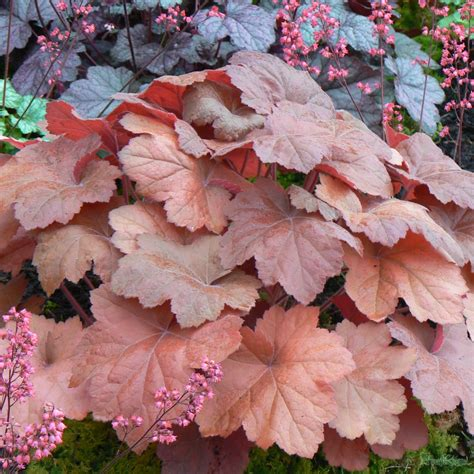Southern Comfort Heuchera by Heuchera Southern Comfort From The Chelsea Gold Medal