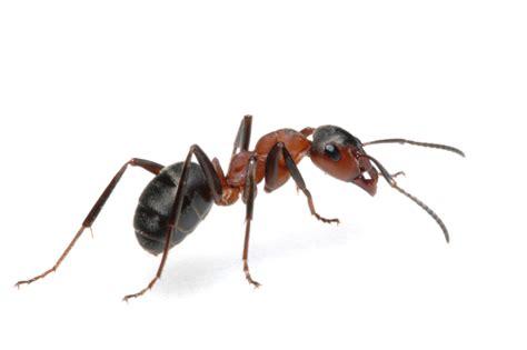 Home Team Pest by Ants Exterminator Pest Controlhome Team Pest Defense