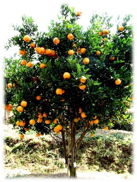 Benih Wortel Dari Cina cara memperoleh benih jeruk bebas penyakit kpri citrus