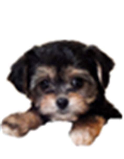 cava yorkie poo yorkie puppies for sale ohio teacup yorkie pups buy terrier