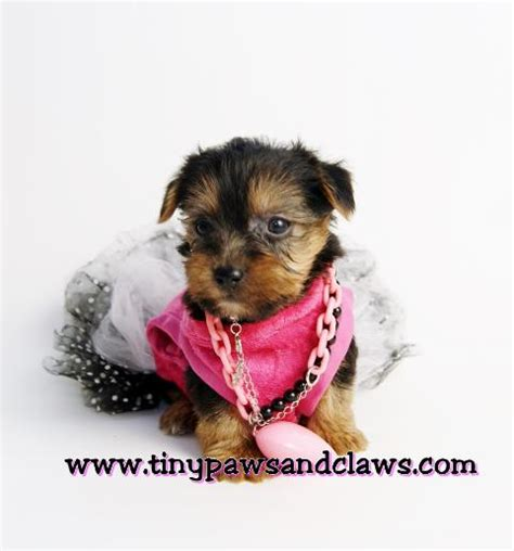 teacup yorkies for sale in el paso tx yorkie puppies in dew tx breeds picture