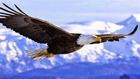Burung Elang 3d gambar elang jawa yang gagah koleksi gambar mewarnai