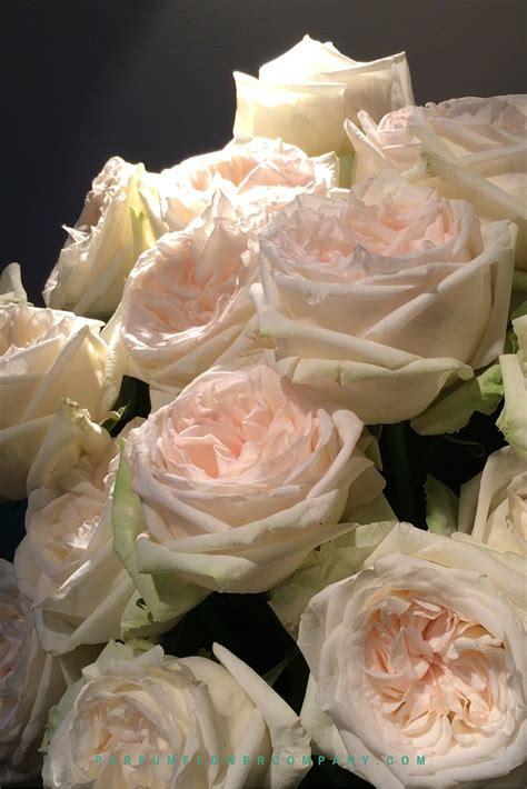 premium scented garden rose white ohara