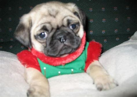 pug breeders mn pug puppies pug puppies for sale in oakdale minnesota classifieds puppys