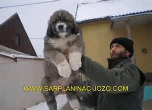 Bear hunting dogs russian bear hunting dog