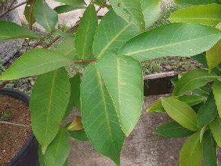 Jual Sekam Bakar Di Malang cara stek tanaman buah jual tabulot di pontianak