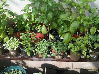 Jual Bibit Oregano Di Malang jual benih tanaman herbs cara menanam bibit herbs