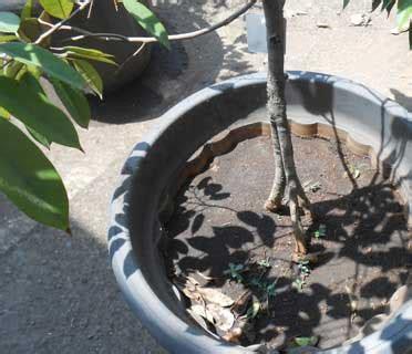 Bibit Terong Ijo cara sambung kaki pada tanaman buah dengan praktek pada