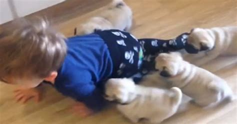 pugs their owners toddler attempts to outcrawl a stede of pug puppies pup fans