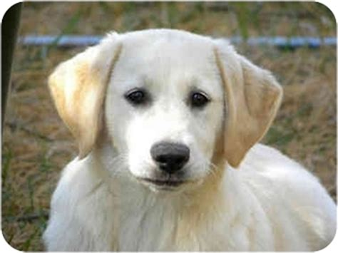 golden retrievers for sale in md golden retriever mix puppies for sale in maryland dogs in our photo